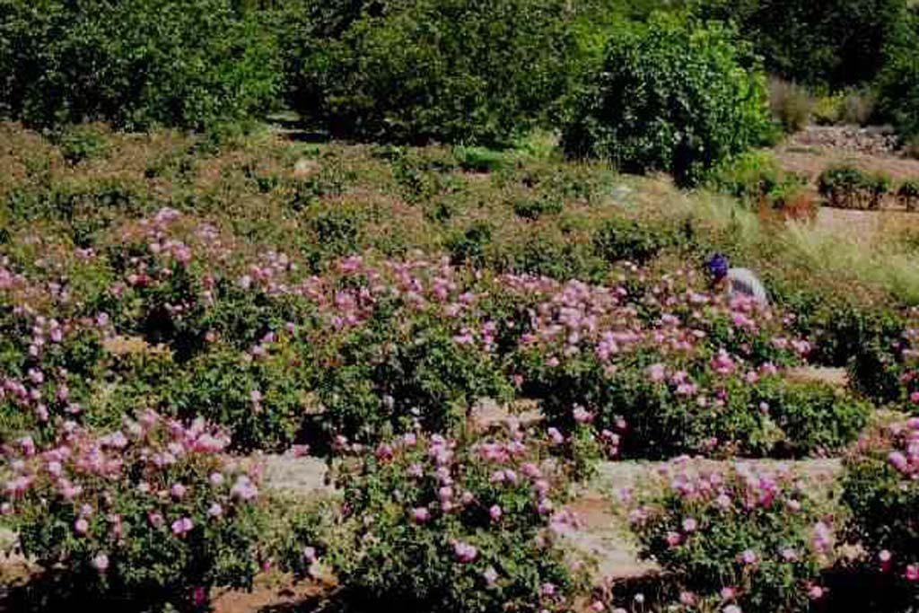 kebun-mawar.